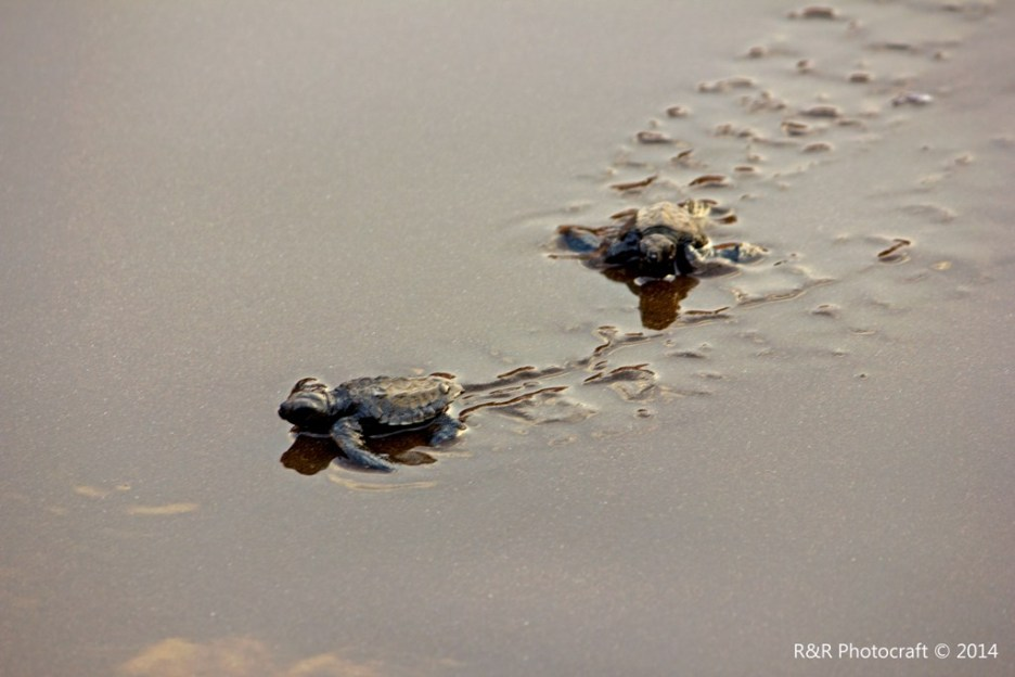 Baby Olive Ridley Turtle pair