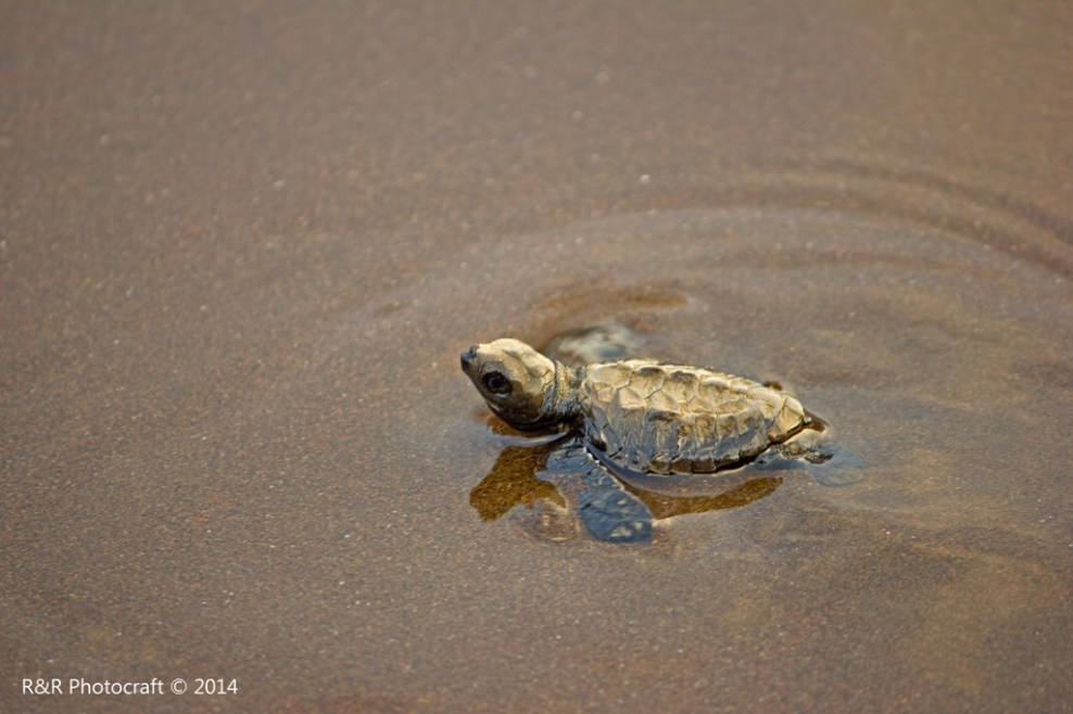 Olive Ridley Baby Turtle